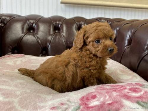 トイプードルの子犬(ID:1248411078)の3枚目の写真/更新日:2018-07-16
