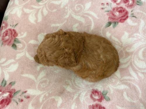 トイプードルの子犬(ID:1248411078)の4枚目の写真/更新日:2018-07-16