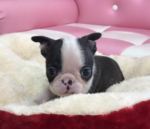 ボストンテリアの子犬(ID:1248411079)の1枚目の写真/更新日:2017-09-11