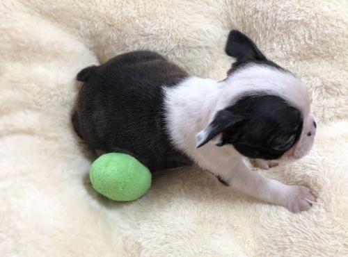 ボストンテリアの子犬(ID:1248411079)の3枚目の写真/更新日:2017-09-11