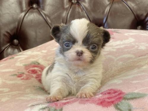 チワワ(ロング)の子犬(ID:1248411080)の1枚目の写真/更新日:2017-09-11