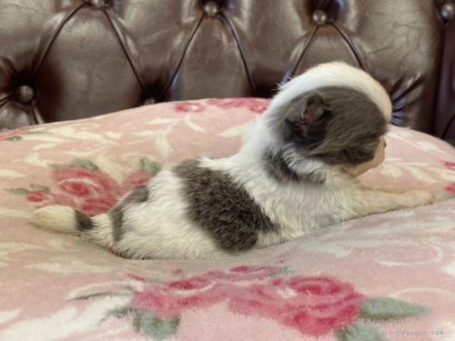チワワ(ロング)の子犬(ID:1248411080)の2枚目の写真/更新日:2017-09-11