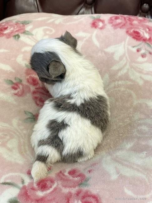チワワ(ロング)の子犬(ID:1248411080)の4枚目の写真/更新日:2021-08-12