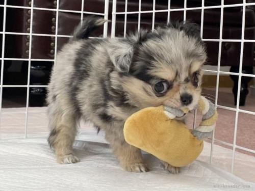 チワワ(ロング)の子犬(ID:1248411081)の2枚目の写真/更新日:2018-07-26