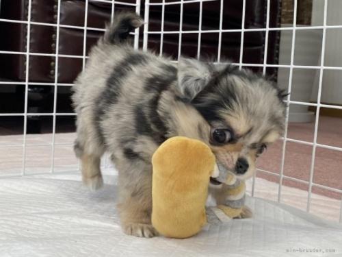 チワワ(ロング)の子犬(ID:1248411081)の3枚目の写真/更新日:2018-07-26