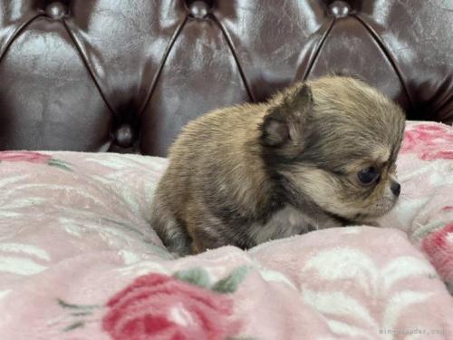 チワワ(ロング)の子犬(ID:1248411082)の3枚目の写真/更新日:2018-07-26