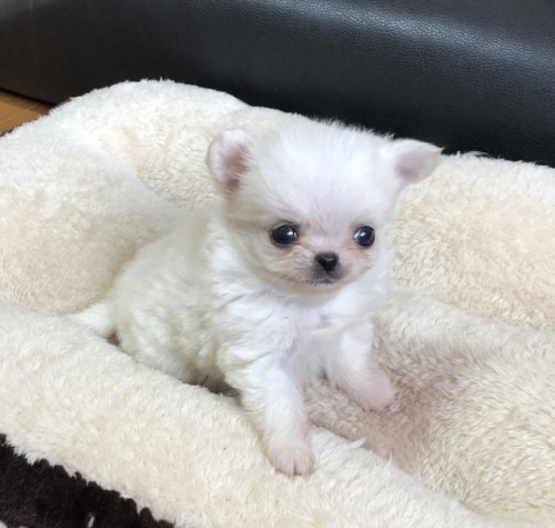 チワワ(ロング)の子犬(ID:1248411083)の1枚目の写真/更新日:2017-09-11
