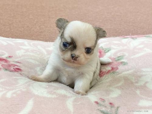 チワワ(スムース)の子犬(ID:1248411085)の1枚目の写真/更新日:2017-09-25