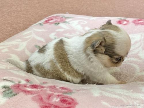 チワワ(スムース)の子犬(ID:1248411085)の3枚目の写真/更新日:2018-07-16