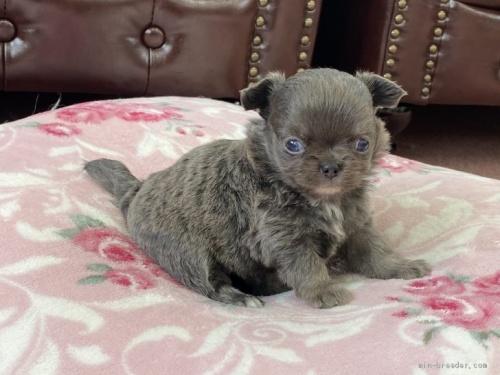 チワワ(ロング)の子犬(ID:1248411086)の1枚目の写真/更新日:2018-08-06