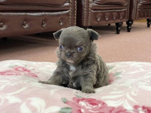 チワワ(ロング)の子犬(ID:1248411086)の2枚目の写真/更新日:2018-08-06