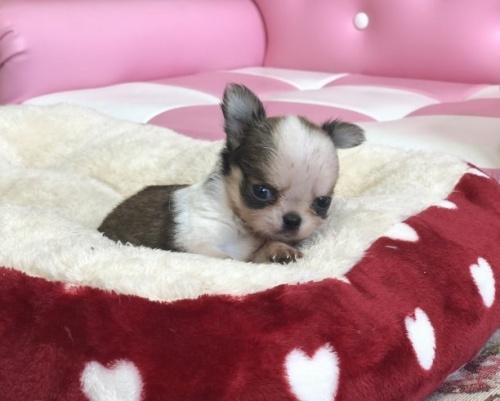 チワワ(ロング)の子犬(ID:1248411087)の2枚目の写真/更新日:2018-09-19