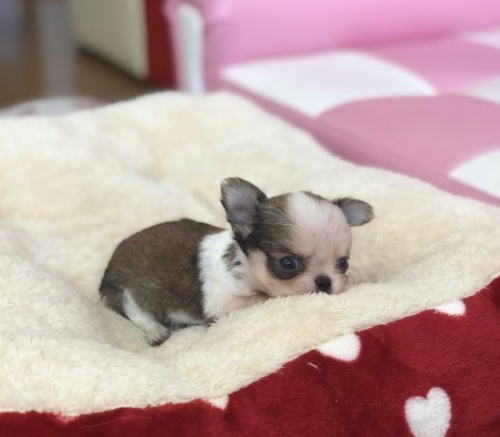 チワワ(ロング)の子犬(ID:1248411087)の3枚目の写真/更新日:2018-09-19