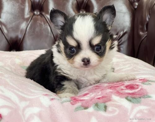 チワワ(スムース)の子犬(ID:1248411089)の1枚目の写真/更新日:2018-06-11
