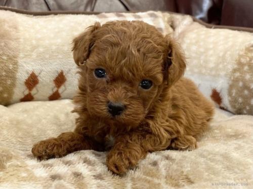 トイプードルの子犬(ID:1248411090)の2枚目の写真/更新日:2020-10-07