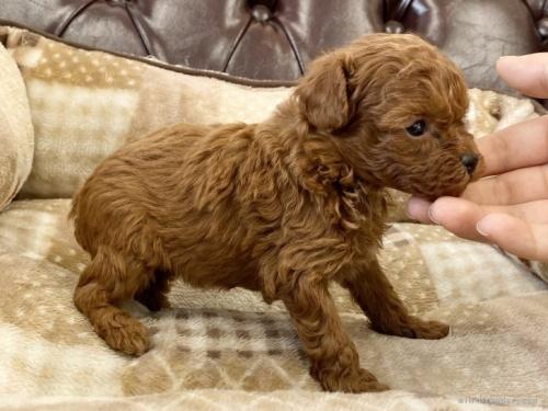 トイプードルの子犬(ID:1248411090)の3枚目の写真/更新日:2020-10-07