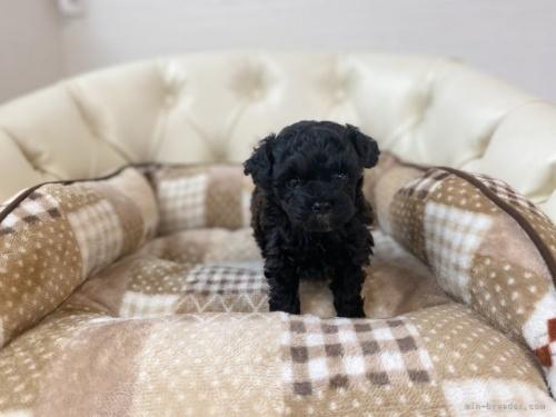 トイプードルの子犬(ID:1248411091)の2枚目の写真/更新日:2018-07-16