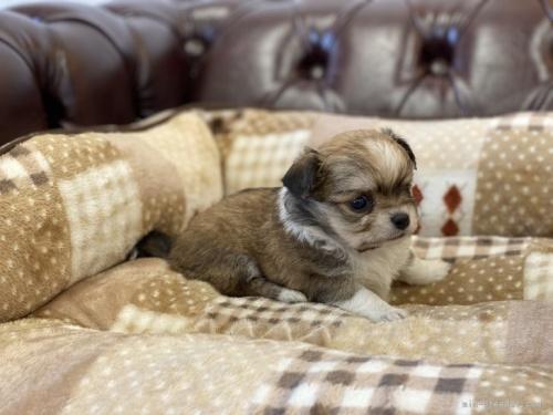 チワワ(ロング)の子犬(ID:1248411092)の2枚目の写真/更新日:2019-11-18