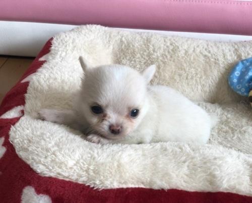 チワワ(ロング)の子犬(ID:1248411093)の1枚目の写真/更新日:2017-11-06