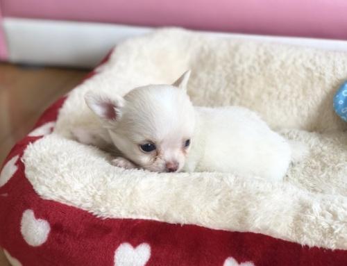 チワワ(ロング)の子犬(ID:1248411093)の3枚目の写真/更新日:2018-08-18