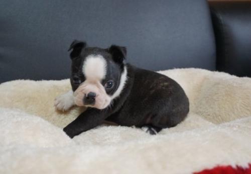 ボストンテリアの子犬(ID:1248411094)の1枚目の写真/更新日:2019-08-14