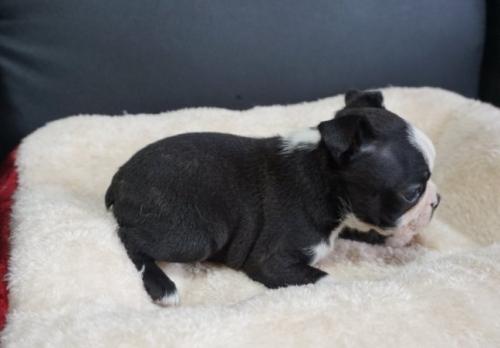 ボストンテリアの子犬(ID:1248411094)の3枚目の写真/更新日:2019-08-14