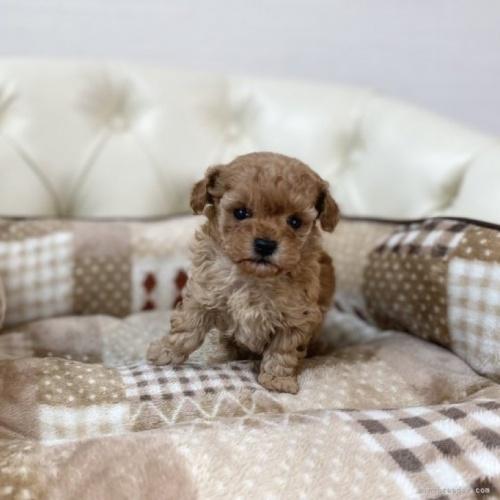 トイプードルの子犬(ID:1248411095)の1枚目の写真/更新日:2021-04-02