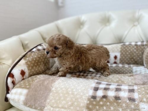トイプードルの子犬(ID:1248411095)の3枚目の写真/更新日:2021-04-02