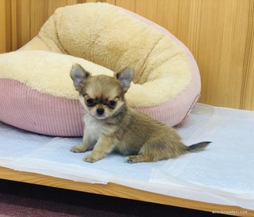 チワワ(ロング)の子犬(ID:1248411096)の1枚目の写真/更新日:2018-05-28