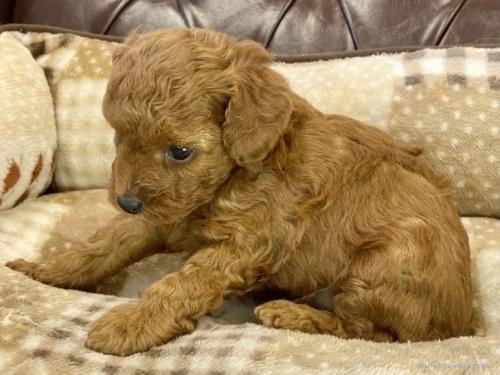 トイプードルの子犬(ID:1248411097)の3枚目の写真/更新日:2018-08-18
