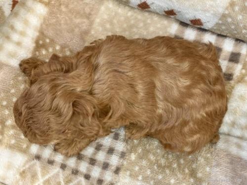 トイプードルの子犬(ID:1248411097)の4枚目の写真/更新日:2018-08-18