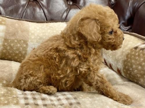 トイプードルの子犬(ID:1248411098)の3枚目の写真/更新日:2018-08-06