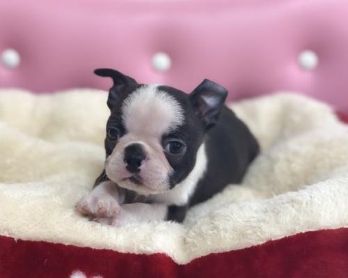 ボストンテリアの子犬(ID:1248411102)の1枚目の写真/更新日:2017-12-17