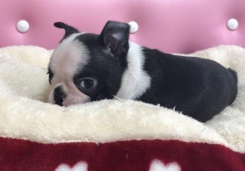 ボストンテリアの子犬(ID:1248411102)の2枚目の写真/更新日:2017-12-17