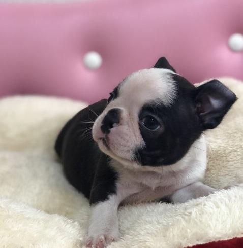 ボストンテリアの子犬(ID:1248411102)の3枚目の写真/更新日:2017-12-17