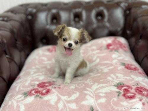 チワワ(ロング)の子犬(ID:1248411103)の2枚目の写真/更新日:2021-08-12