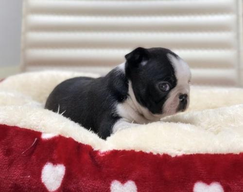ボストンテリアの子犬(ID:1248411104)の2枚目の写真/更新日:2017-12-17