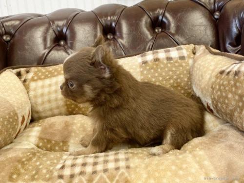 チワワ(ロング)の子犬(ID:1248411107)の2枚目の写真/更新日:2019-10-28