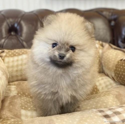 ポメラニアンの子犬(ID:1248411109)の1枚目の写真/更新日:2018-01-17
