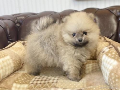 ポメラニアンの子犬(ID:1248411109)の3枚目の写真/更新日:2019-09-17