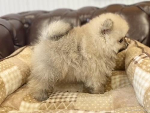 ポメラニアンの子犬(ID:1248411109)の4枚目の写真/更新日:2021-10-15