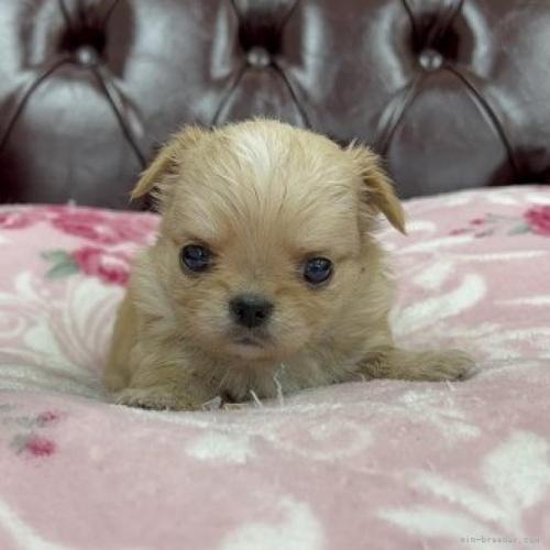 チワワ(ロング)の子犬(ID:1248411110)の1枚目の写真/更新日:2018-01-17