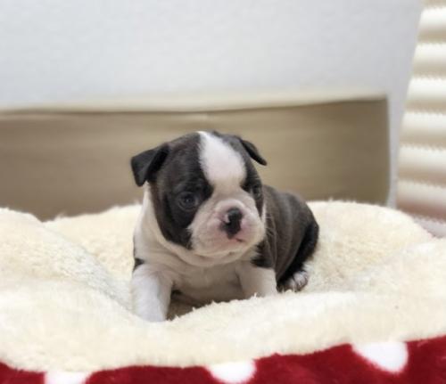ボストンテリアの子犬(ID:1248411111)の1枚目の写真/更新日:2019-01-04