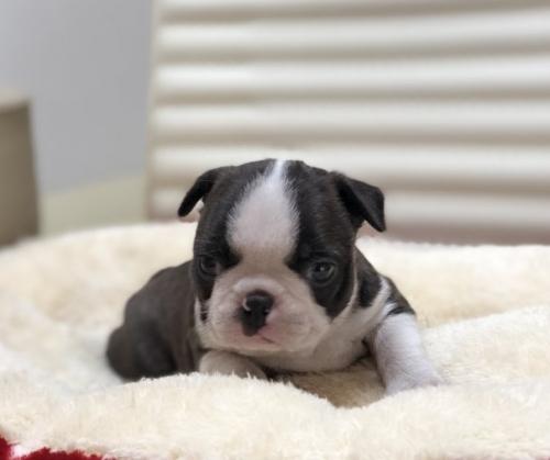 ボストンテリアの子犬(ID:1248411111)の2枚目の写真/更新日:2019-01-04