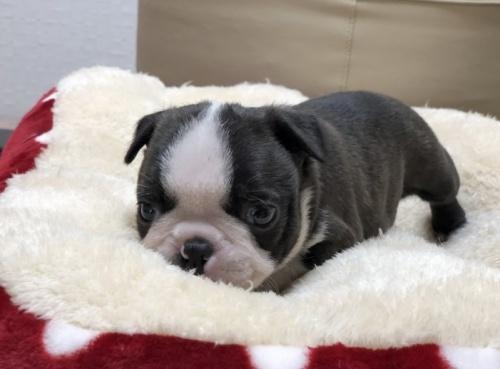 ボストンテリアの子犬(ID:1248411111)の4枚目の写真/更新日:2019-01-04