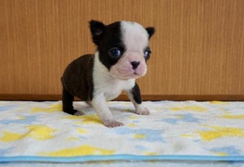 ボストンテリアの子犬(ID:1248411112)の2枚目の写真/更新日:2018-01-26