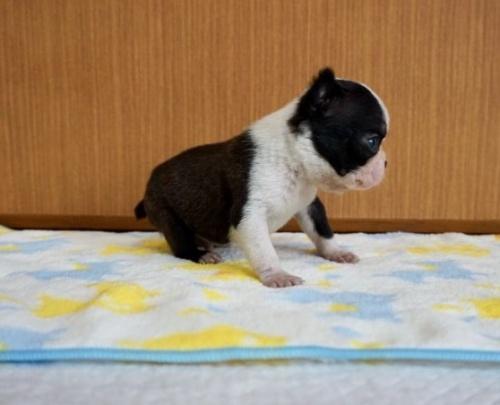 ボストンテリアの子犬(ID:1248411112)の3枚目の写真/更新日:2019-05-22