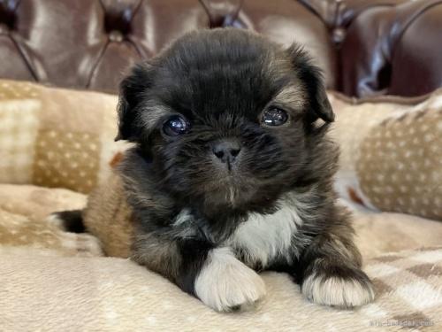 ペキニーズの子犬(ID:1248411114)の2枚目の写真/更新日:2018-01-26