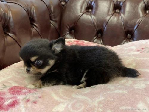 チワワ(ロング)の子犬(ID:1248411115)の2枚目の写真/更新日:2018-06-06