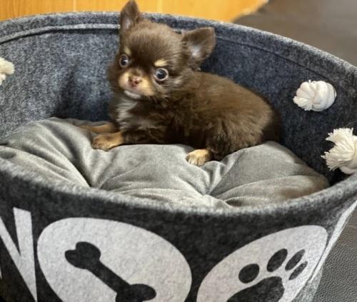 チワワ(ロング)の子犬(ID:1248411116)の1枚目の写真/更新日:2018-01-29